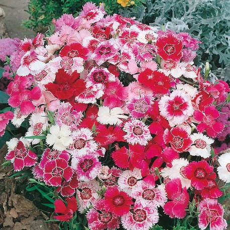 Dianthus China Doll Mix – Seminte Flori Garofita Chinezeasca Mix Chinesis de la Florian 1