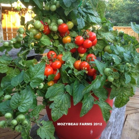 Rosii Cherry Tiny Tim – 45 sem – Seminte Tomatele Cherry Tiny Tim tip Cireasa 1